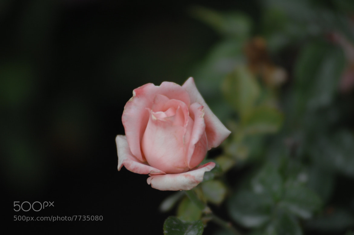 Photograph Rose button by Vivian Garciaferro on 500px
