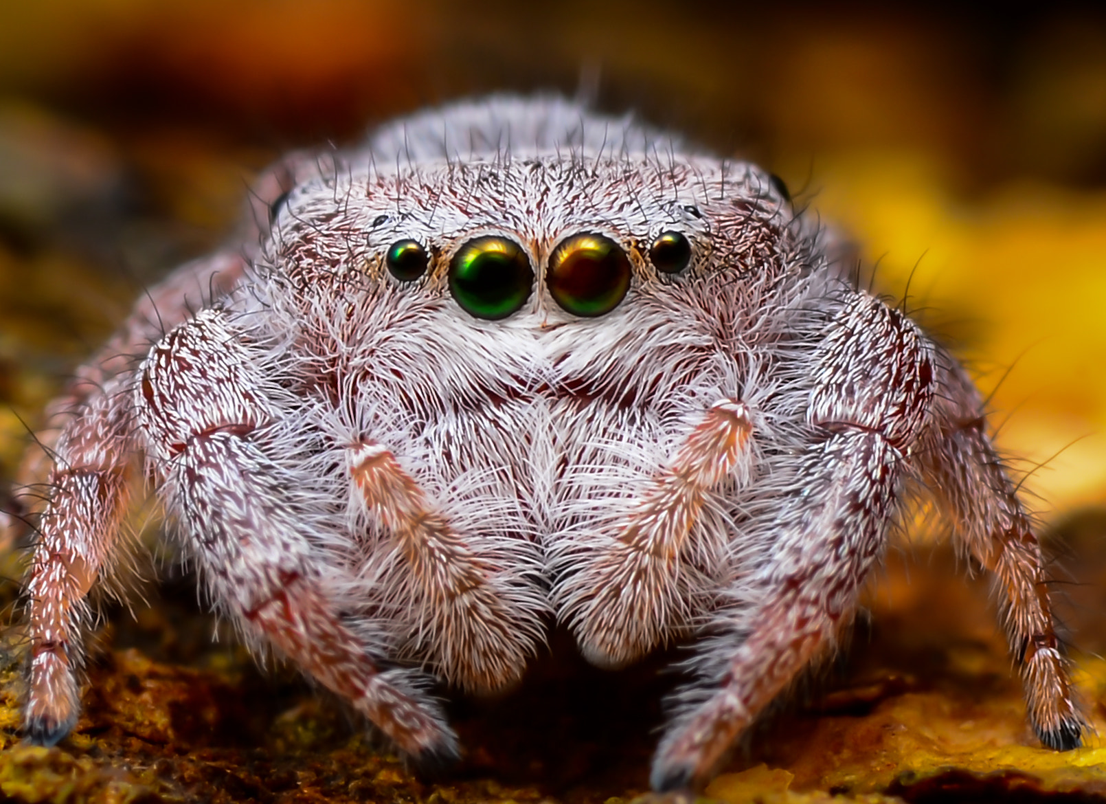 Photograph Jumper Spider by Bede Poukin on 500px