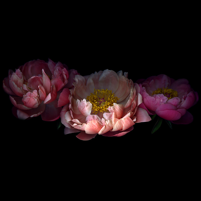 Photograph CHINOISERIE...LES TROIS PIVOINES. by Magda Indigo on 500px