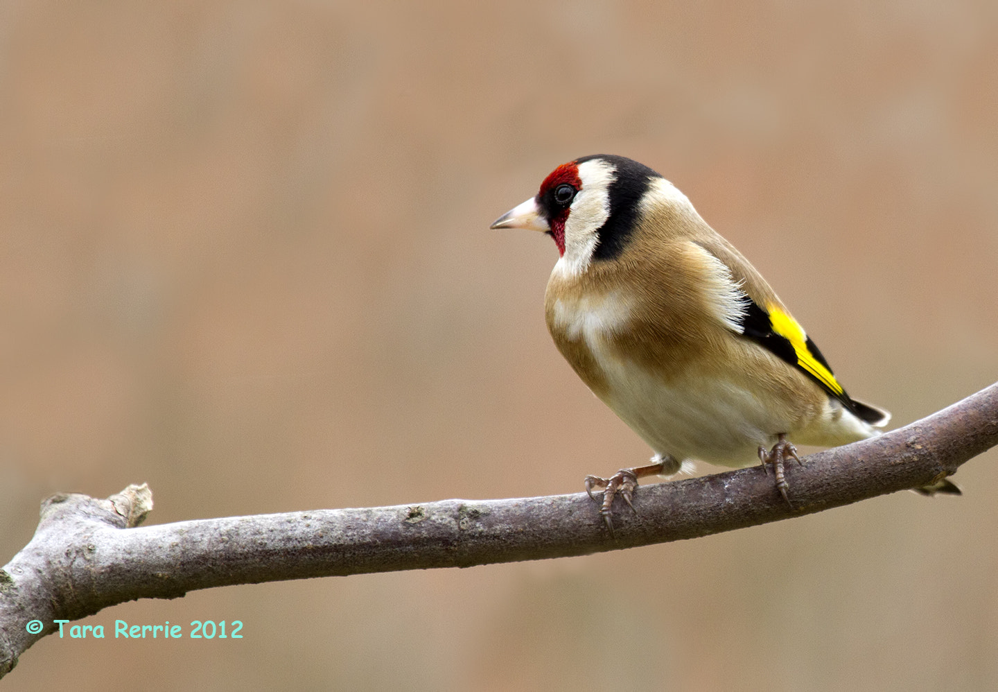 Photograph Goldfinch by Tara Rerrie on 500px