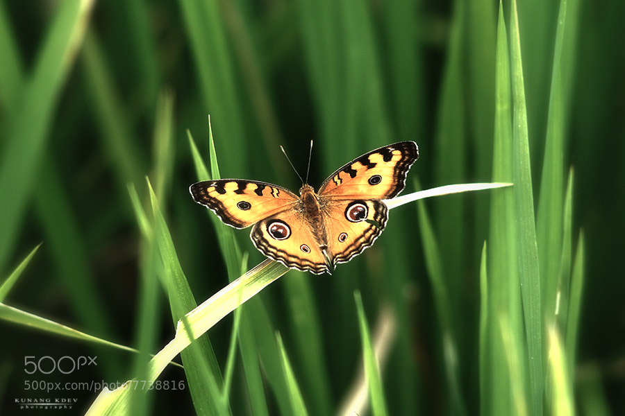 Photograph butterfly by kunang kdev on 500px