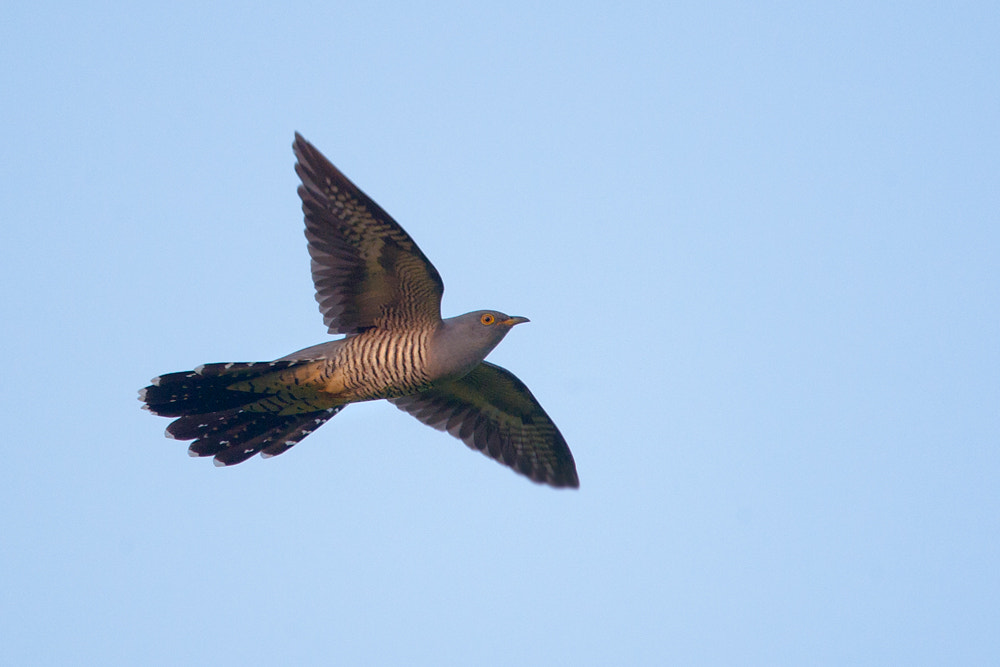 Photograph Common Cuckoo by Nigel  Pye on 500px
