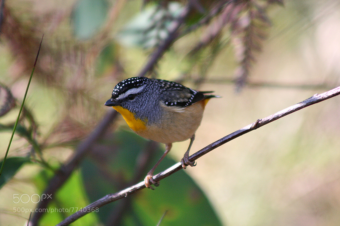 Photograph Pardalote by Sylvain Dubey on 500px