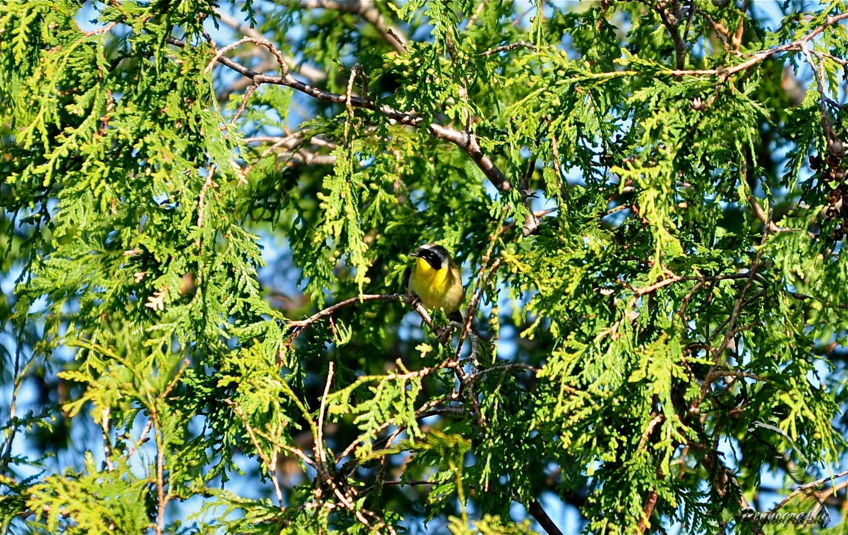 Photograph Common Yellowthroat Warbler by Jeremy Penn on 500px