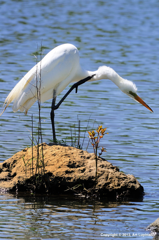 Photograph Great Egret by Art Lupinacci on 500px