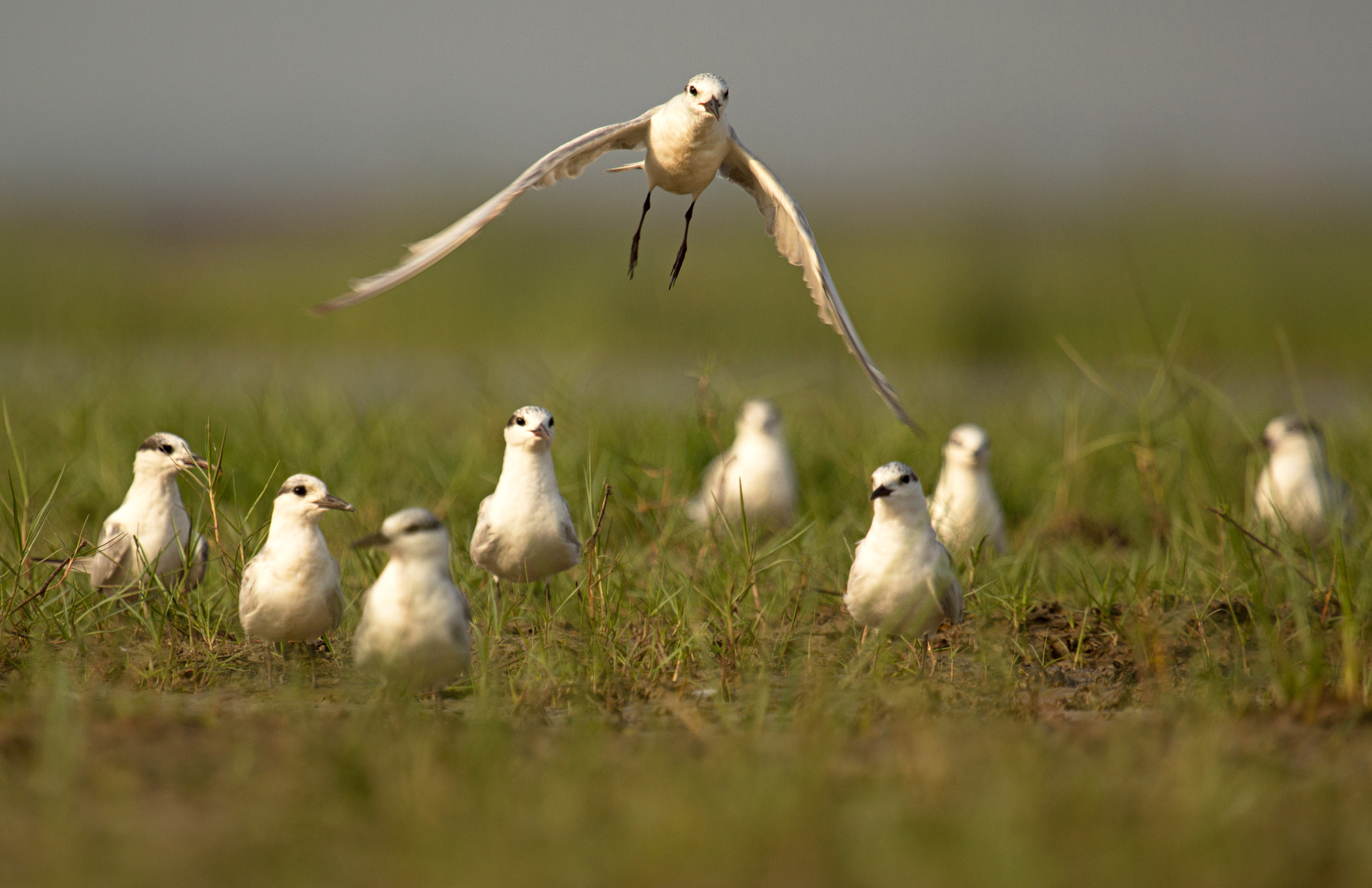 rare migratory bird River Tern Herd at chilika lake