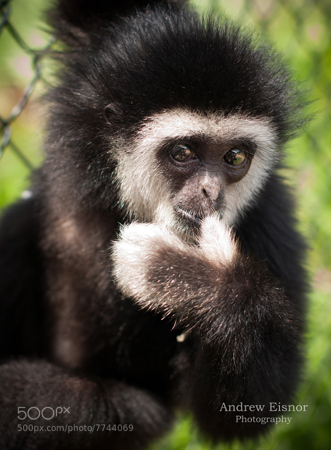 Photograph Baby Gibbon  by Andrew Eisnor on 500px