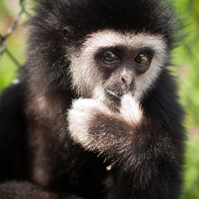 Baby Gibbon  by Andrew Eisnor (andreweisnorphotography)) on 500px.com
