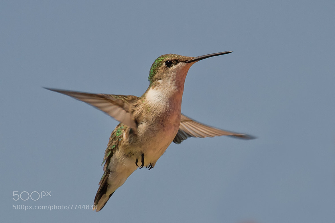 Photograph Ruby Throated Hummingbird by Don Leslie on 500px