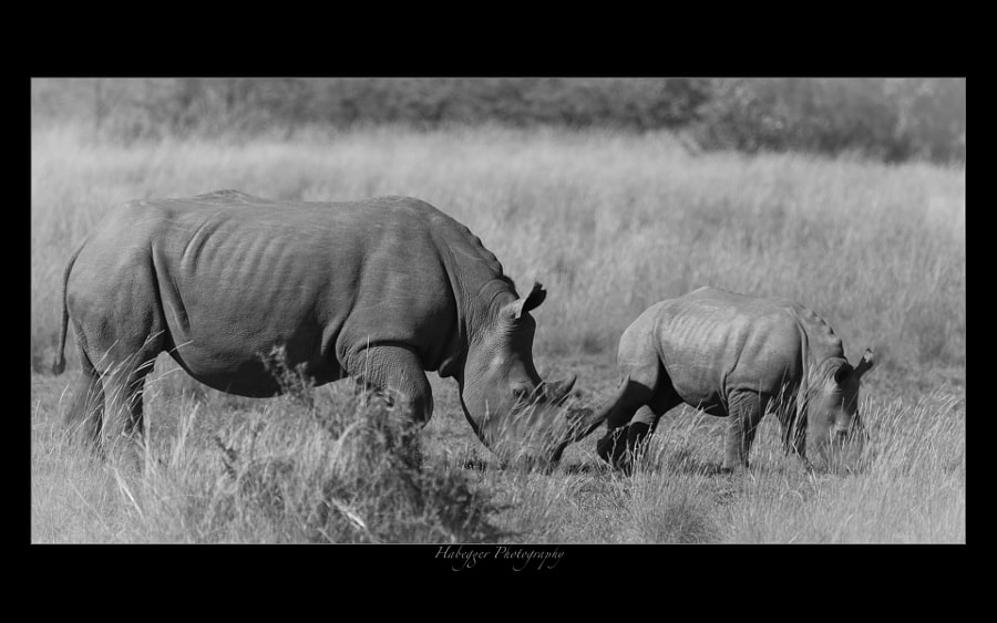 white rhino with calf, pilanesberg np
