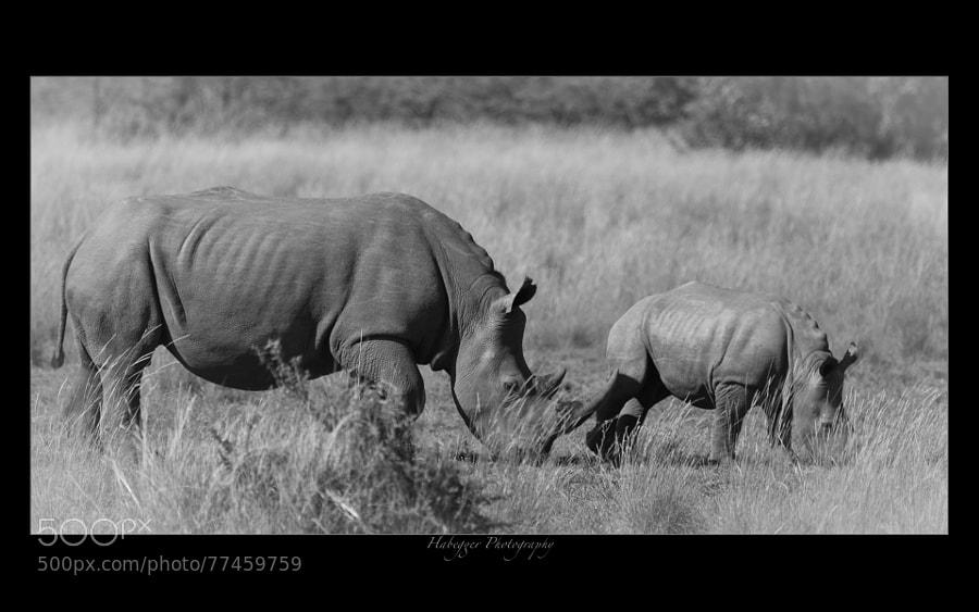 white rhino with calf, pilanesberg np