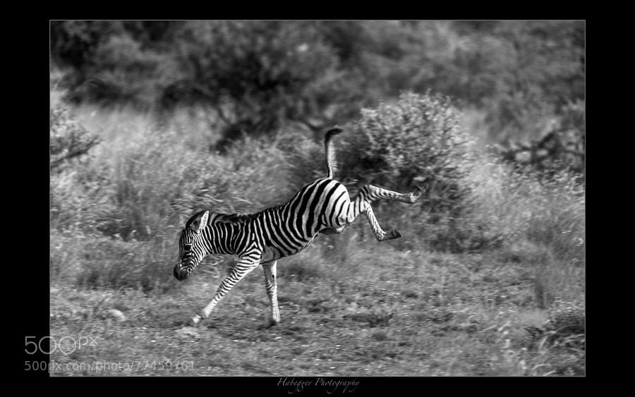 young zebra, pilanesberg np