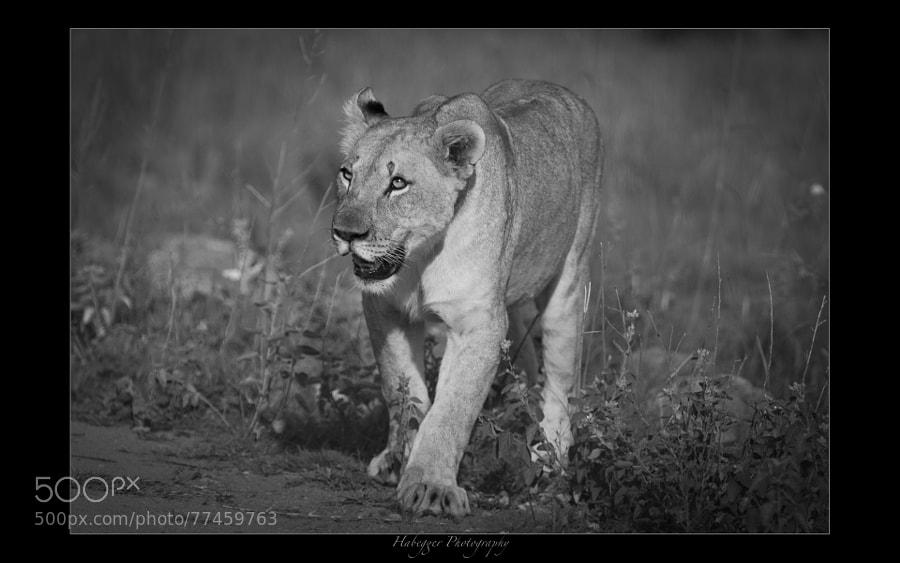 lioness, pilanesberg np