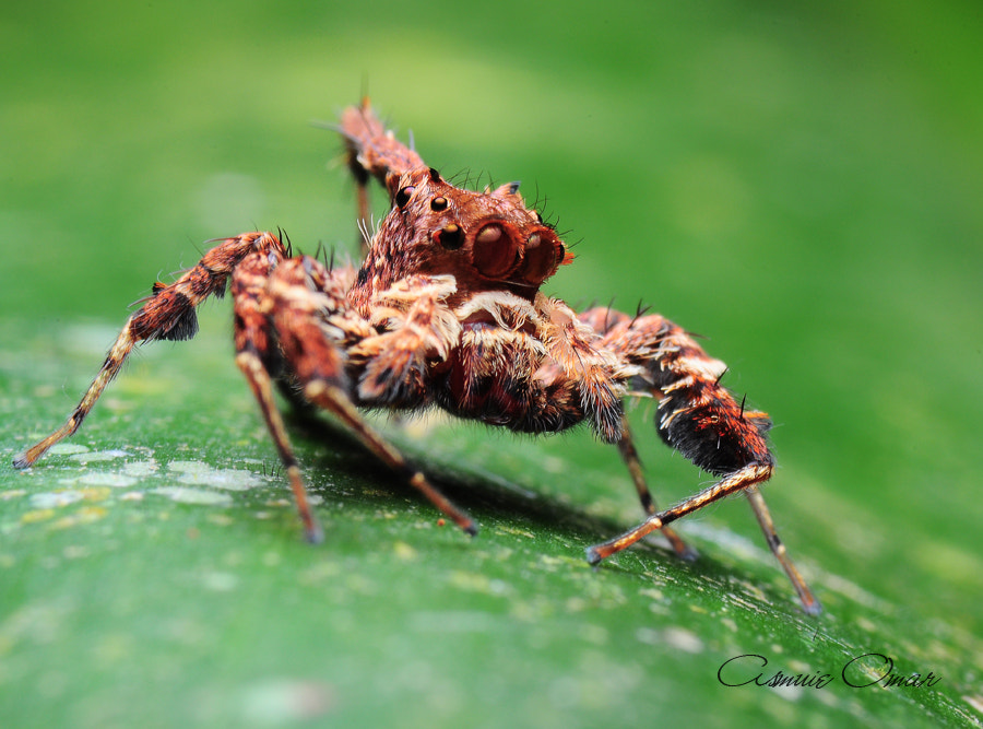 Photograph King Of Jumper Spider by ahmad asmuie saad@omar on 500px