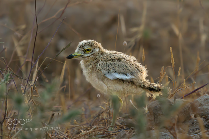 Photograph Eurasian Stone-curlew chick by Tatyana Druz on 500px