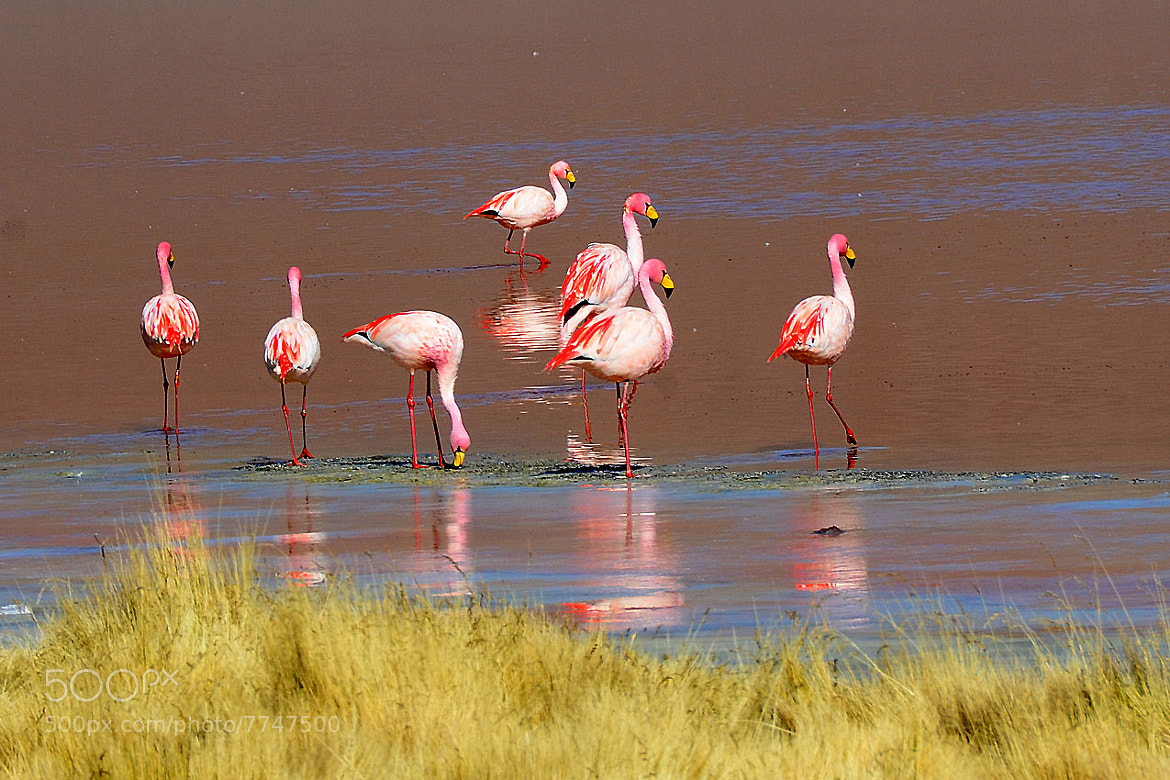 Photograph Flamingo on the Red Lagon, Salar – Bolivia by Amit Bahat on 500px