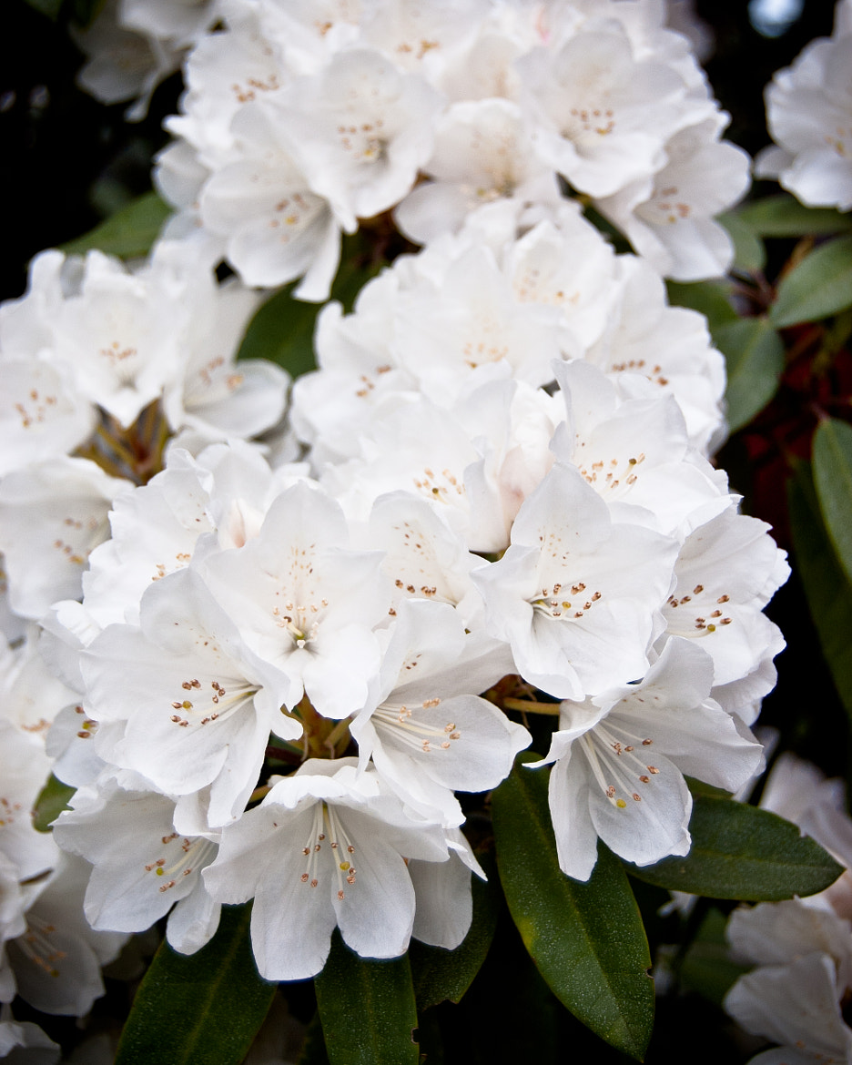 Photograph Spring Rhody by Ryan McCullough on 500px