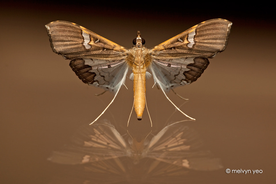 Photograph Standing Moth by Melvyn Yeo on 500px
