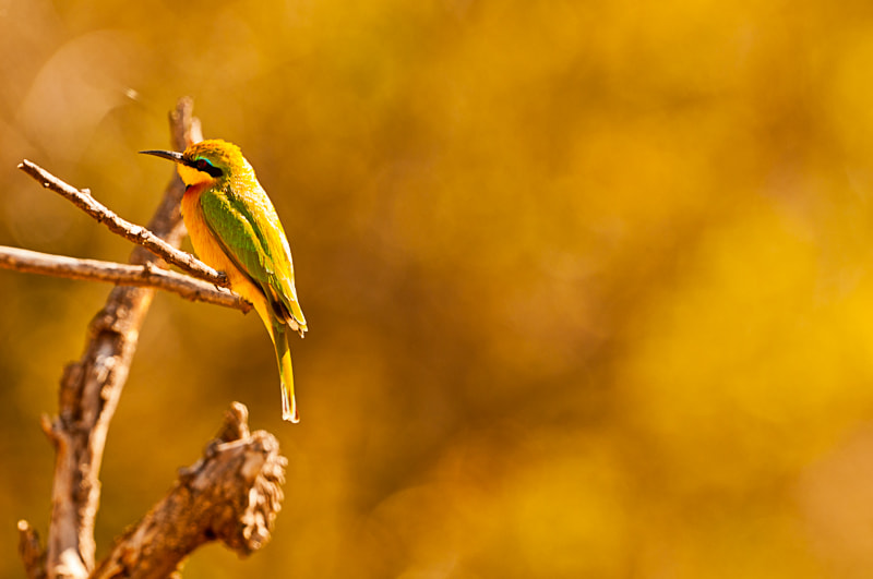 Photograph Bee eater by Teus Renes on 500px