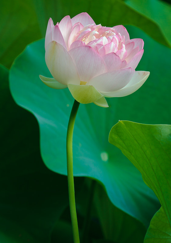 Photograph Lotus Flower by Randy Oleson on 500px