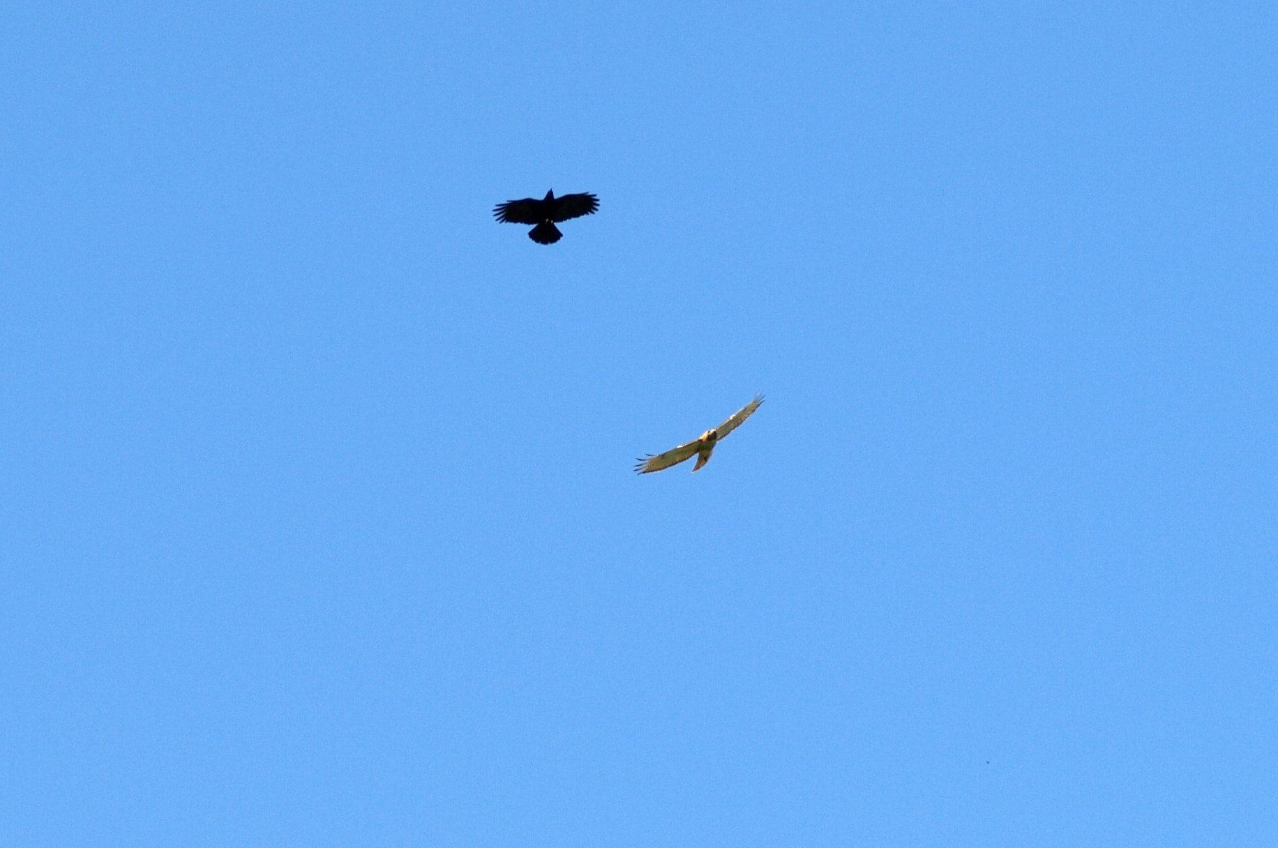 Photograph Hawk Being Chased Away by Scott McElreath on 500px