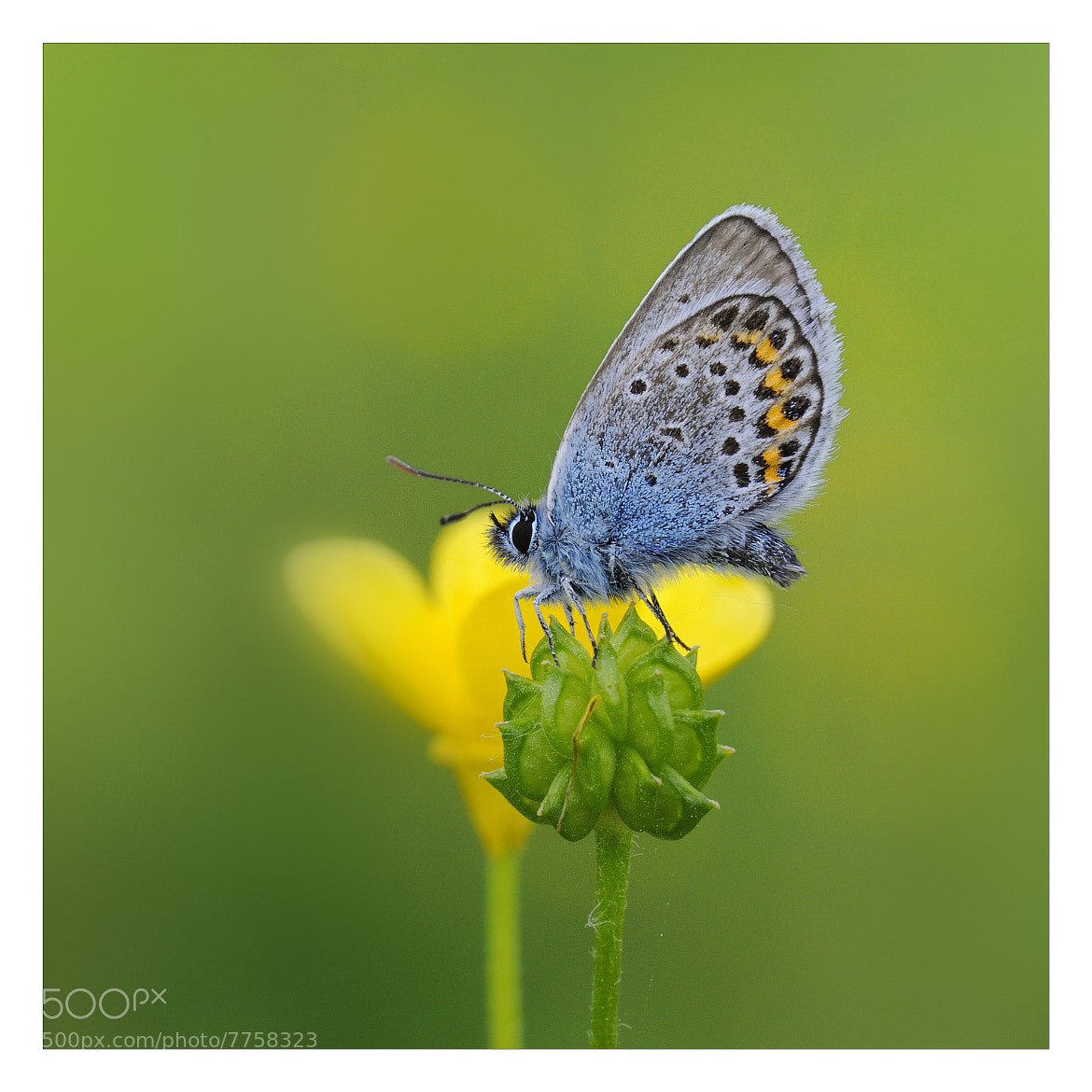 Photograph licenide by mauro maione on 500px