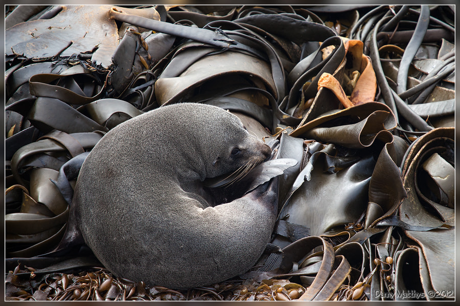 Photograph Fur seal on a bed of kelp by Danny Matthys on 500px