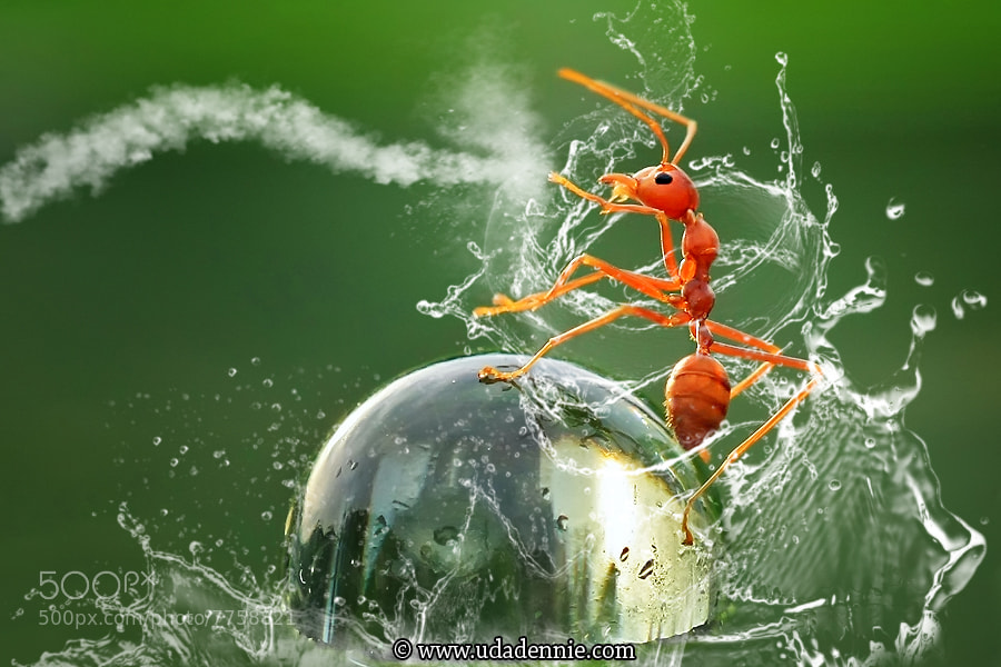 Photograph Kungfu Ant by Uda Dennie on 500px