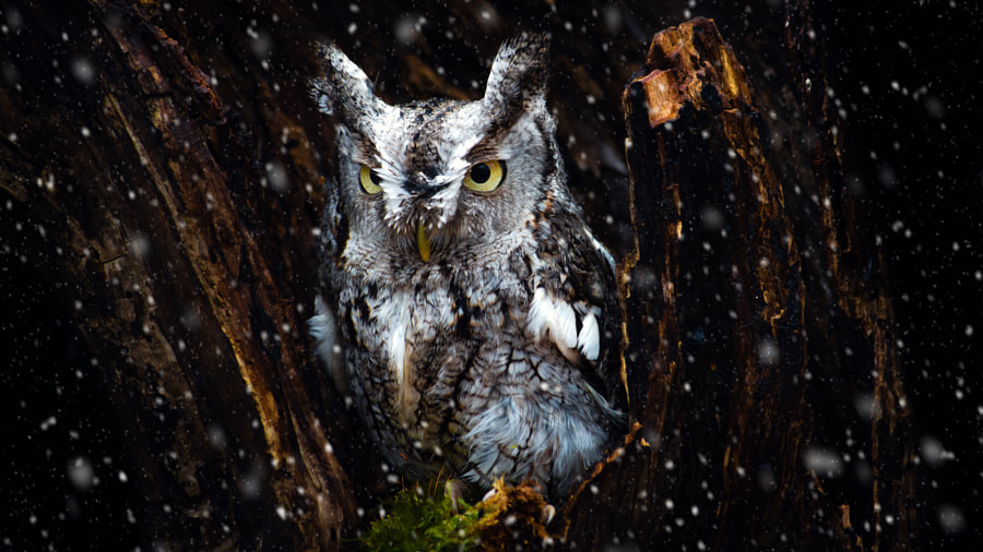 Screech Owl in the Snow by Tracy Munson on 500px.com
