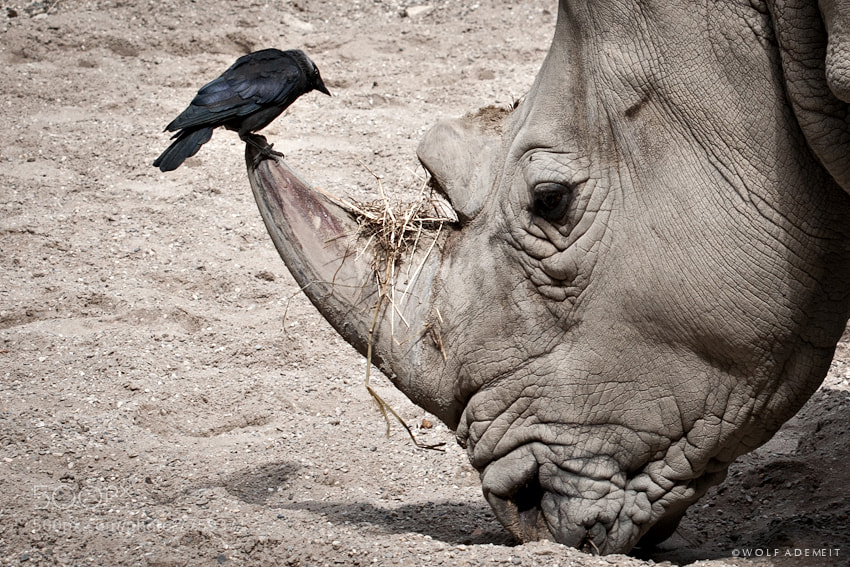 13 rhino and bird