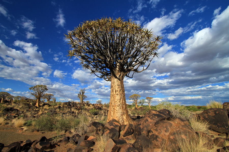 Photograph Quiver Tree Forest - Namibia by Benjamin Nocke on 500px