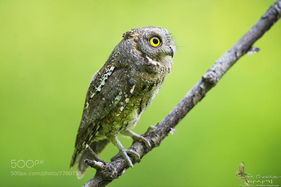 Photograph Oriental scops owl by basaki 바사기 on 500px