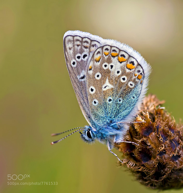 Photograph Common Blue by Matt Berry on 500px