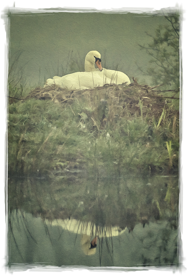 Photograph Nesting Swan by Glyn Dewis on 500px