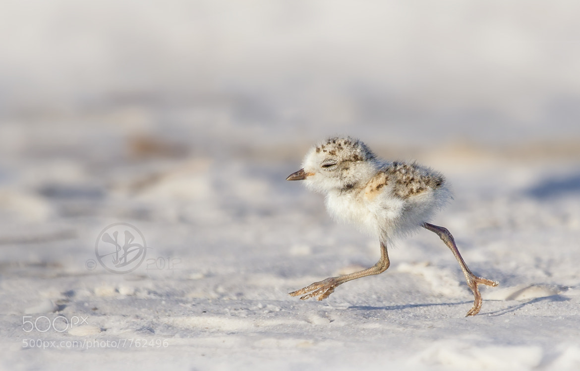 Photograph Snowy Plover chick by Kris Bell on 500px