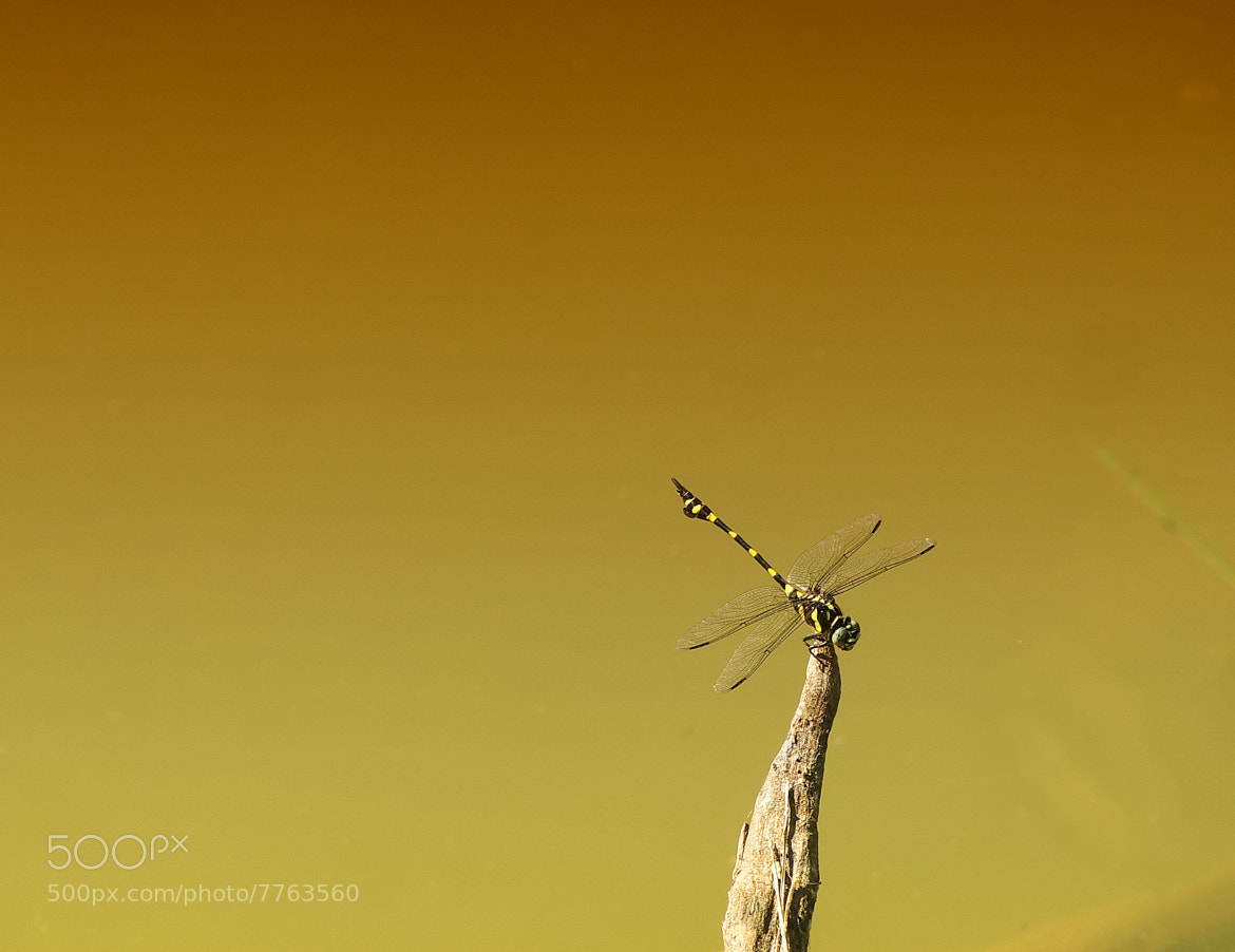 Photograph Dragonfly by Naviya Ss on 500px