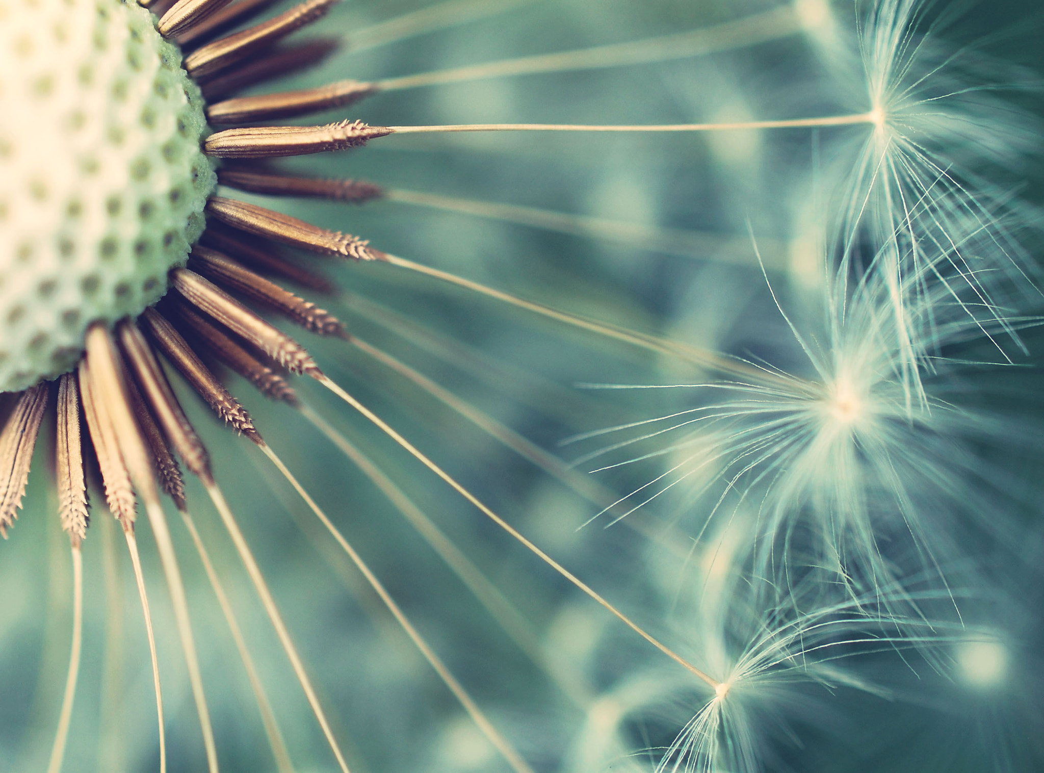 Photograph Dandelion by Ilse Noordhof on 500px