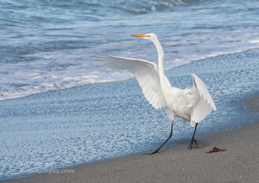 Photograph For egrets ... life is a beach :) by Alfred Forns on 500px