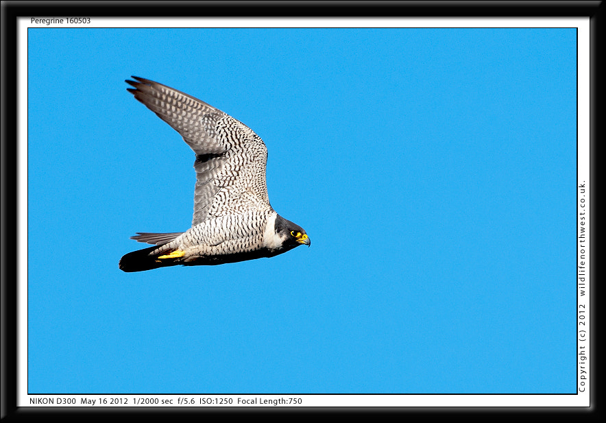 Photograph Peregrine Falcon by Ade Lee on 500px