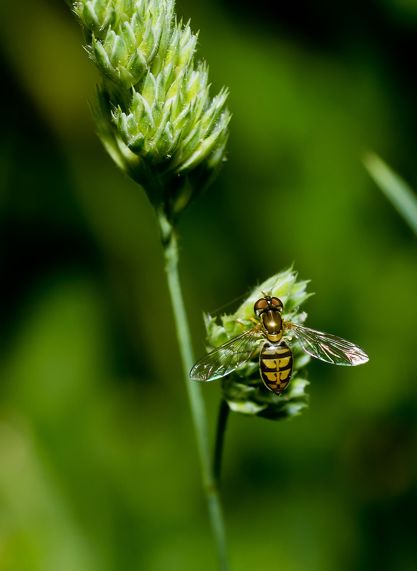 Photograph Hoverfly on Grass by Lori Coleman on 500px
