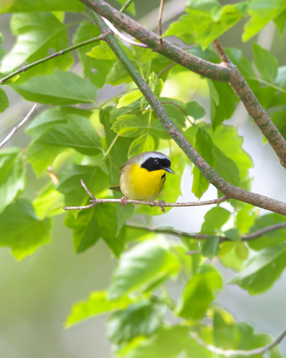 Photograph Common Yellowthroat by Steven Kersting on 500px