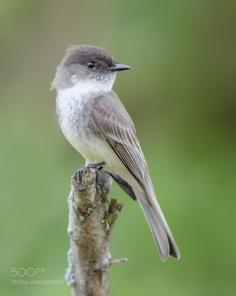 Photograph Eastern Phoebe by Steven Kersting on 500px