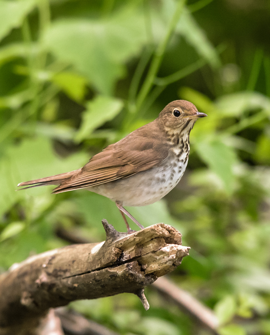 Photograph Swainson's Thrush by Steven Kersting on 500px