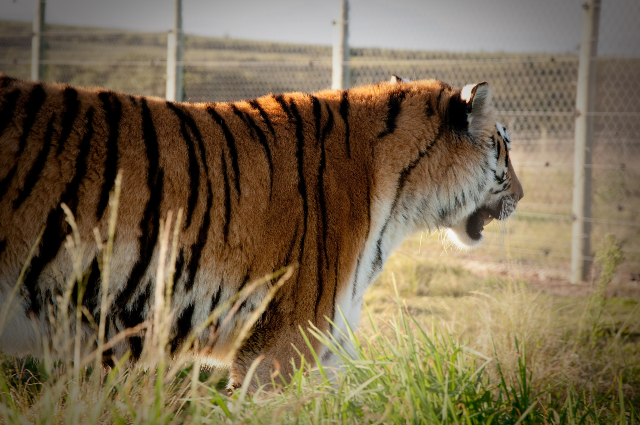Photograph Le tigre by Danielle Theunissen on 500px