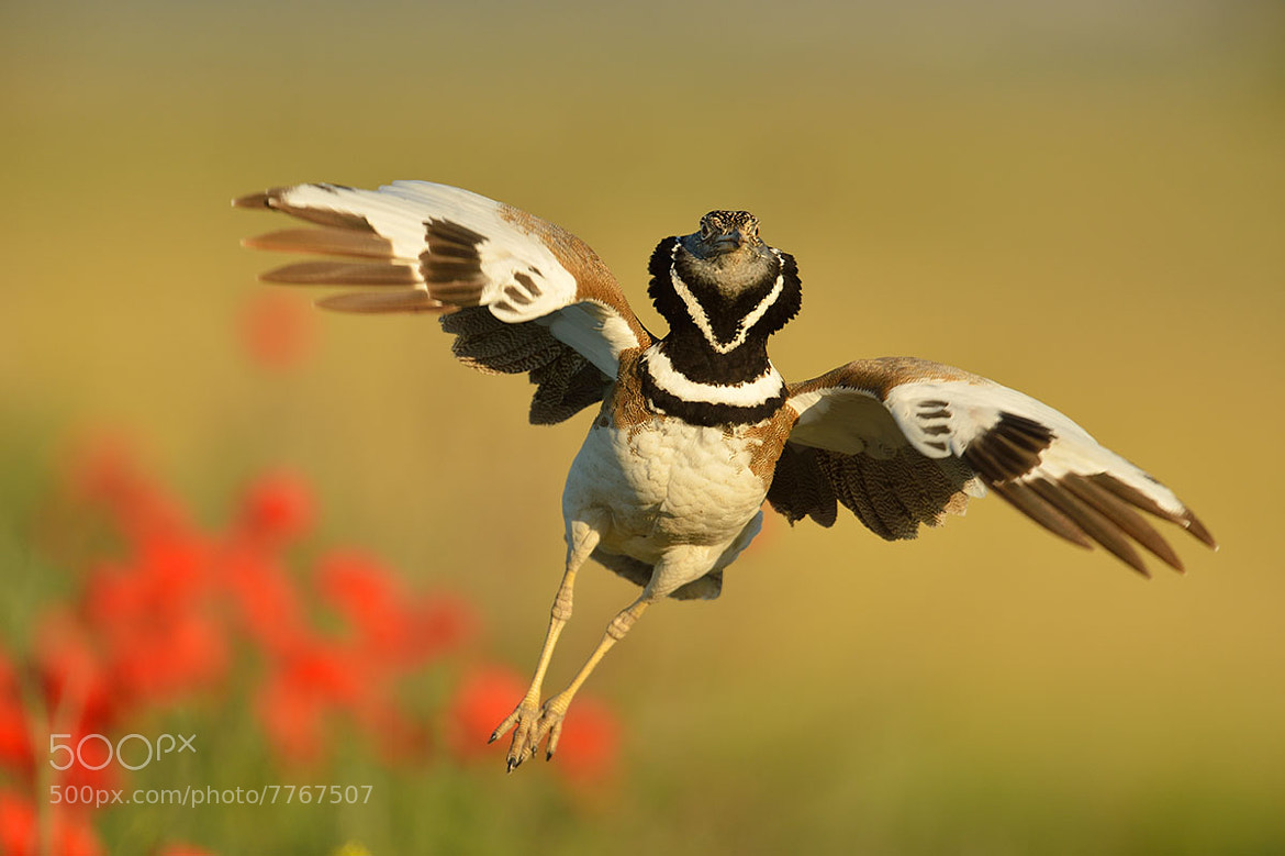 Photograph Jumping Little Bustard by Yves Adams on 500px