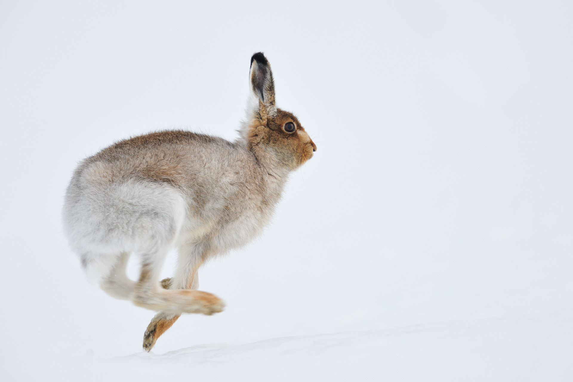 Photograph Running Mountain hare by Yves Adams on 500px