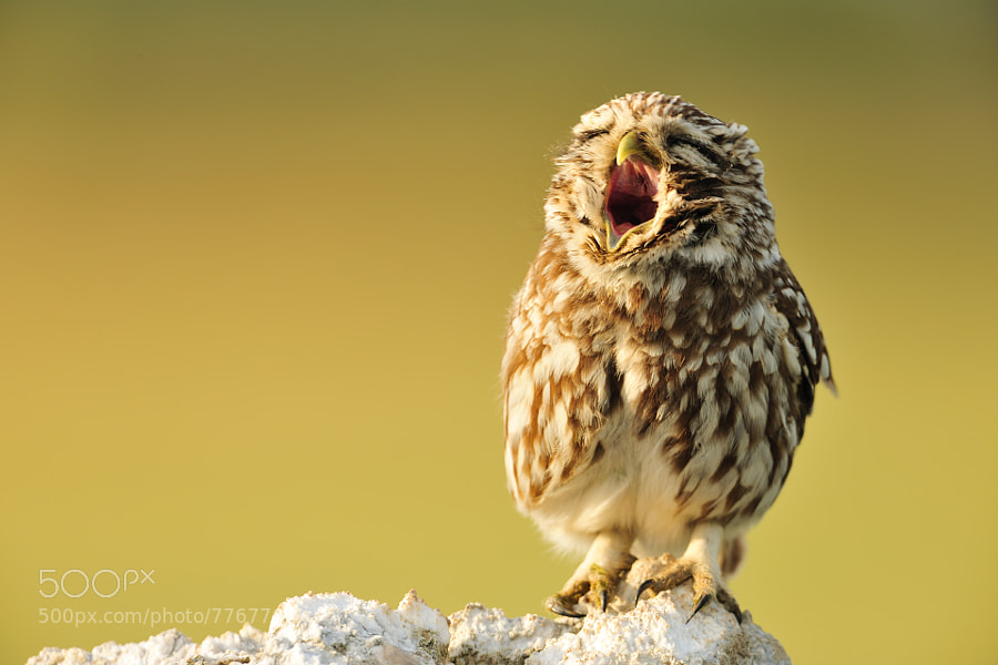 Yawning Little owl  by Yves Adams on 500px.com