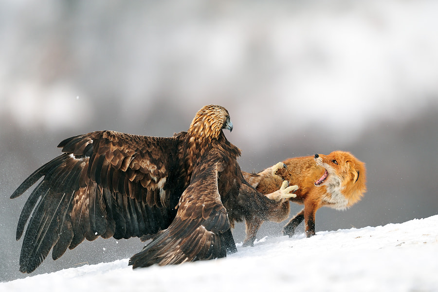 Golden eagle having a discussion with Red fox by Yves Adams on 500px.com