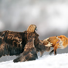 Постер, плакат: Golden eagle having a discussion with Red fox