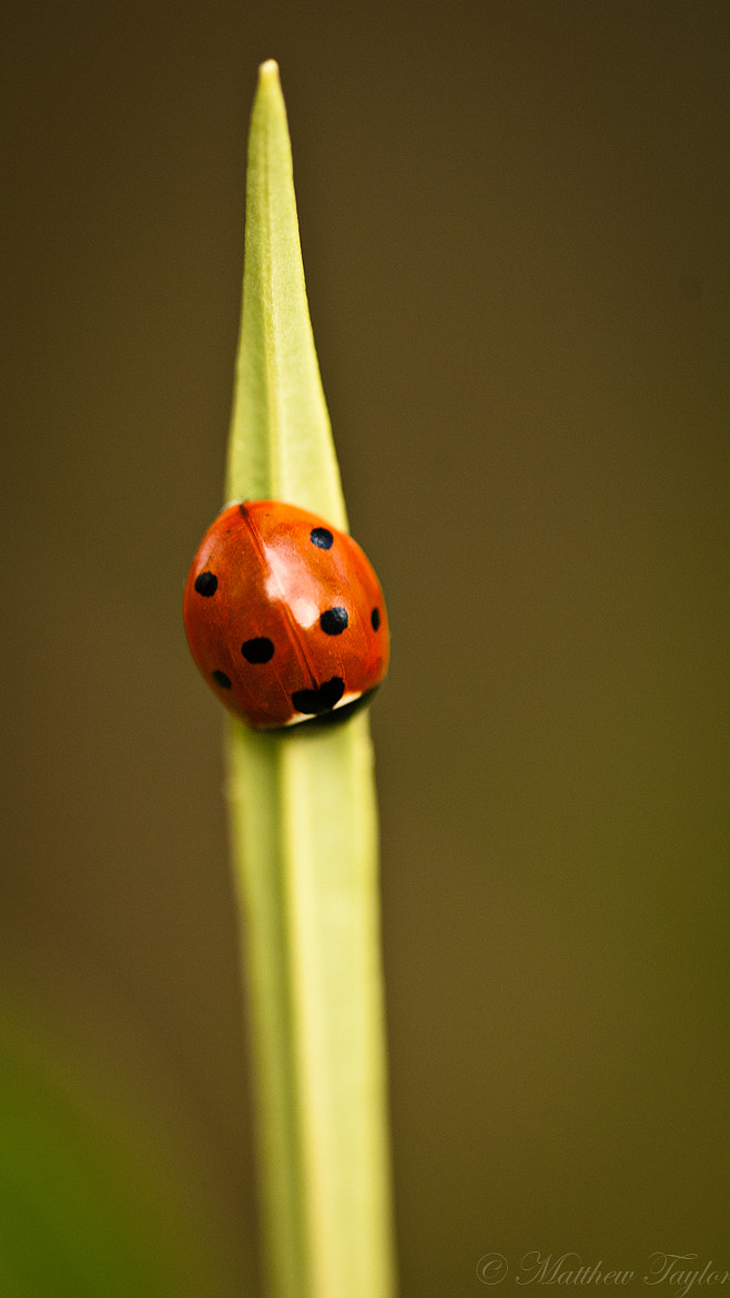 Photograph Ladybird by M Taylor on 500px